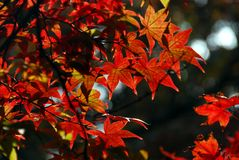 Red maple Royalty Free Stock Image