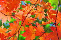 Red maple branch in the fall forest royalty free stock image