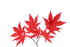 Red maple branches Stock Images