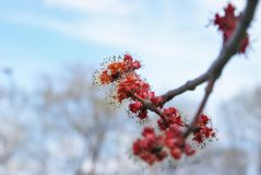 Red Maple Buds Stock Photos