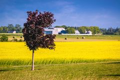 Red Maple and a Canola Field Stock Photos