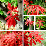 Red maple Collage. In Special Season Stock Photo