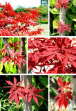 Red maple Collage Stock Images