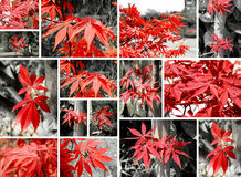 Red maple Collage Royalty Free Stock Photography