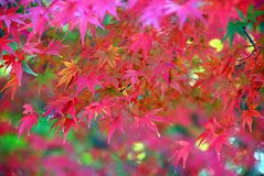Red maple dream Royalty Free Stock Photos