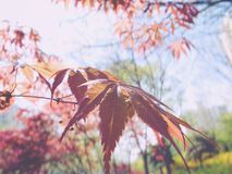 Red maple faded. Red maple leaves swaying in the sun stock photo