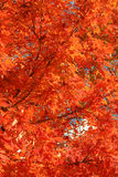 Red Maple at fall. Vibrant red autumn Maple tree Stock Photos