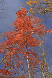 Red Maple in the Fall Stock Image