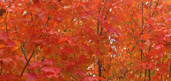 Red Maple in fall Royalty Free Stock Photos