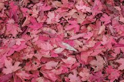 Red Maple fall fallen leaves on a sunny day stock images