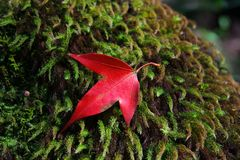 Red maple fall on moss surface in Phukradueng National Park, Thailand. Red maple fall in Phukradueng National Park, Thailand stock image