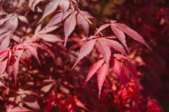 Red maple feathers. Red maple in autumn colors Stock Photos