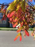 Red Maple flowering in spring stock photos