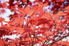Red maple foliage against the sky. Branch of a Japanese  maple  tree in a sunny  day , beautiful red foliage stock image