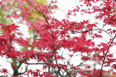 Red maple foliage background Stock Images