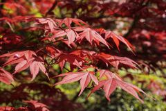 Red maple foliage. Branch of a Japanese  maple  tree in a sunny  day , beautiful red foliage stock photography