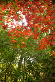 Red maple in the forest Royalty Free Stock Images