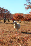 Red maple forest herd of goat Stock Image
