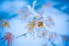 Red maple with the frost. The rime on trees and colored leaves Stock Photos