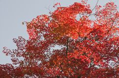 Red Maple in the garden Royalty Free Stock Photos