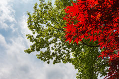 Red maple and green leaves of the trees with cloudy blue sky Stock Images