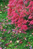 Red maple green moss Royalty Free Stock Photo