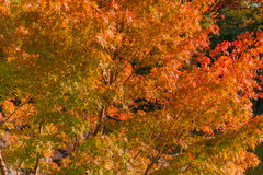 Red maple in japanese garden. Stock Photo