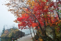 Red maple lakeside Royalty Free Stock Photography