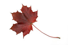 Free Red Maple Leaf Royalty Free Stock Image - 11379716