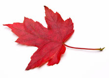 Red Maple Leaf. (Acer rubrum) isolated on white royalty free stock photo