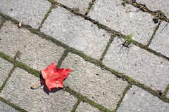 Red maple leaf. On the pavement Royalty Free Stock Photo