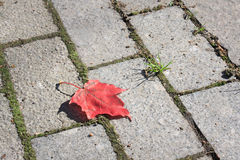 Red maple leaf. On the pavement Royalty Free Stock Images