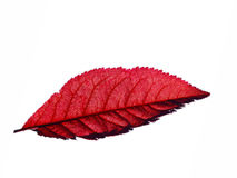 Free Red Maple Leaf Stock Image - 14131871