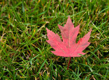 Red Maple Leaf. A red maple leaf lays alone in the green grass after falling from its tree royalty free stock image