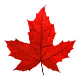 Red maple leaf. Isolated on white. Clipping path included stock images