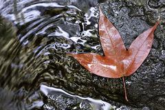 Red Maple Leaf. Phukradung National Park, Thailand Stock Photography