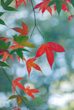 Red Maple Leaf. A red maple leaf with other trees in the background stock photo