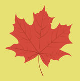 Red maple leaf. Vector graphics Stock Photos