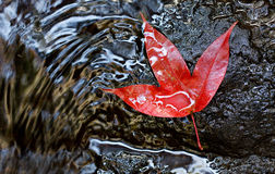 Red maple leaf. In Phukradung National Park, Loei, Thailand Stock Photography
