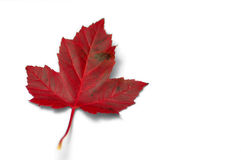 Red Maple Leaf. Isolated in white background Stock Photo