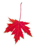 Red Maple Leaf. (Acer saccharum) isolated on white stock photography