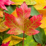 Red maple leaf. Red autumn maple leaf falling in leaf pile Royalty Free Stock Photos