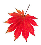 Red maple leaf. royalty free stock image