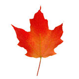 Red Maple Leaf. A red maple leaf; symbol of Canada; isolated on white Royalty Free Stock Photo