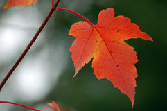 Red Maple Leaf. Close-up picture of a red maple leaf with a green background Royalty Free Stock Photography