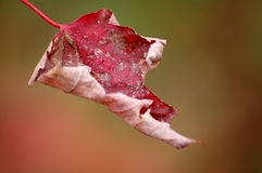Red Maple Leaf. Close-up picture of a red maple leaf with an orange background Stock Photos