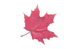 Red maple leaf. The isolated red maple leaf close up Royalty Free Stock Images