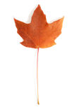 Red Maple Leaf. A red maple leaf isolated on white stock images