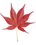 Red Maple Leaf. Single red maple leaf isolated on white background with clipping path royalty free stock photography