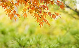 Red maple leaf Royalty Free Stock Photos